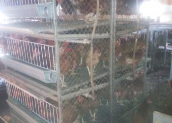Клетки для содержания птицы бройлера, кур-несушек