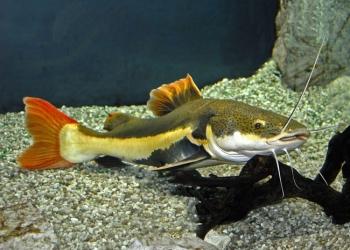 Краснохвостый сомик -(Phractocephalus hemiliopterus)