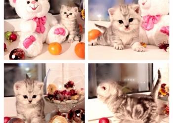 Шотландские клубные котята ждут вас. )
