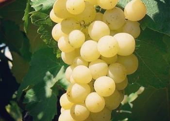 Черенки винограда, крупноплодные грецкие орехи