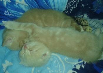 Солнечные шотландские вислоухие котятки