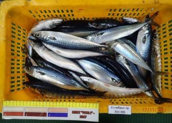 Продам свежемороженую рыбопродукцию оптом .