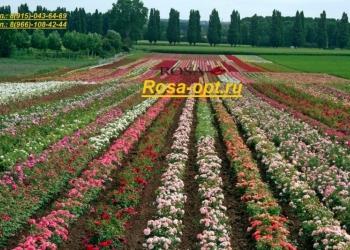 Саженцы роз ОПТ