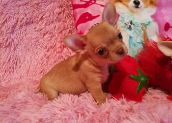 В продаже красивые щенки чихуахуа