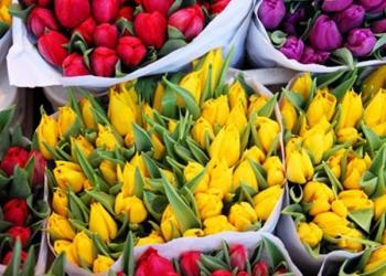 Лучший тюльпан к 8 марта!!!