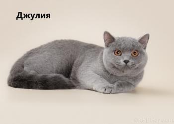 Подрощенные британские котята