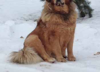 Продаём щенков породы Тибетский Мастиф