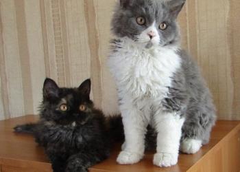 Кудрявые котята селкирк рекс