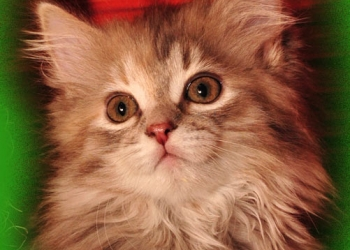 Cимпатичные сибирские котята
