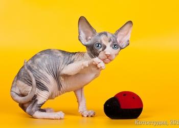 От титулованных родителей котята сфинксы