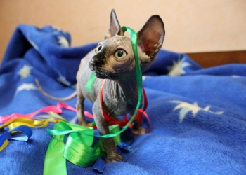 Котёнок канадского сфинкса. Порода SPH
