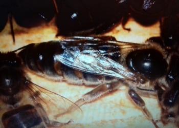 Пчеломатки и пчелопакеты среднерусские