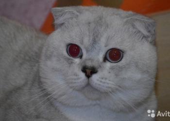 Шиншиловый чистокровный кот на вязку