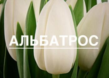 Прямые поставки тюльпанов из теплицы опт/розница
