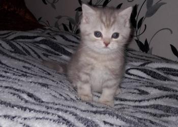 Продаются котята шотландской породы