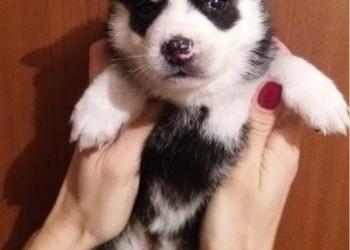Продам чистокровных щенков сибирской хаски глаза голубые