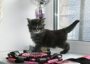 Котята мейн-куны из лицензированного питомника.