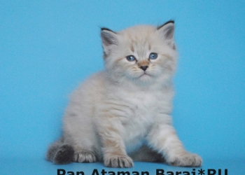 "Сибирские котята из питомника ""Baraj"" (Барадж)"