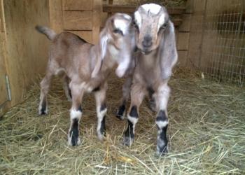 Англонубийские козлята