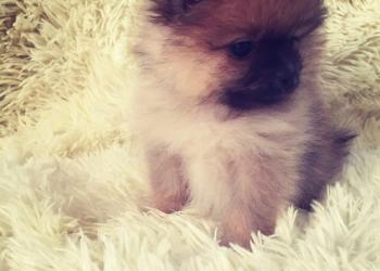 Продается щенок малого померанского шпица