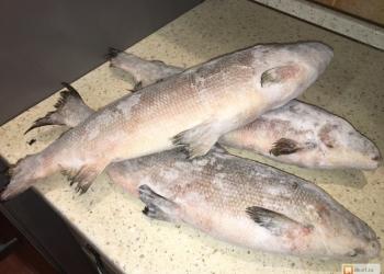 Свежемороженая рыба Щекур(Чир)