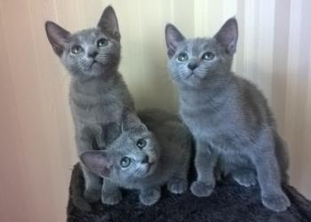Продаются котята русской голубой