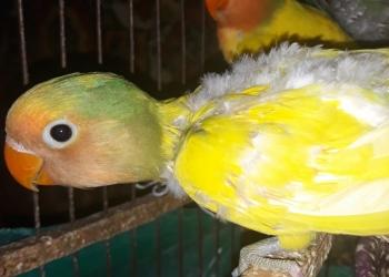 Пара птенцов попугая неразлучника