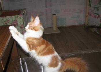 чистокровные котята мейн-кун из питомника