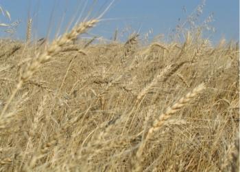 пшеница 3,4,5 класса.