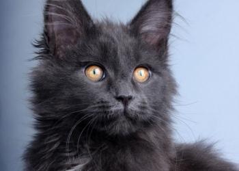 Котята мейн-кун с документами
