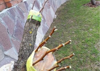 Обрезка и прививка плодовых деревьев