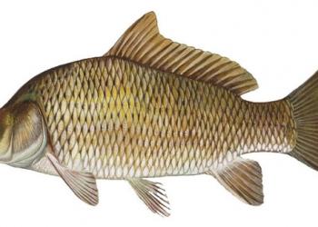 продаю рыбу для пруда