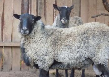 Продам Баранов и овец Алтайской породы