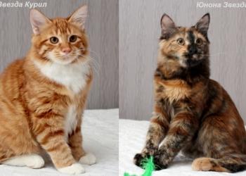Красивые, породные котята Курильского бобтейла