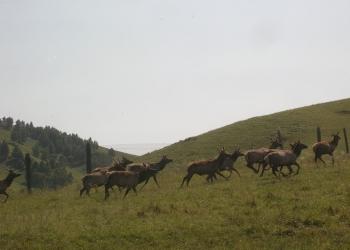 Маралы,Яки,Пятнистые олени