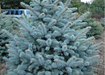 Ель голубая Picea Pungens Glauca