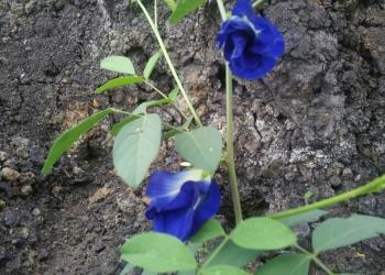 Анчан, синий чай, clitoria ternatea, мотыльковый горошек.
