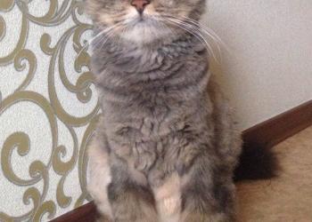 Молодой тигровый пушистый котик