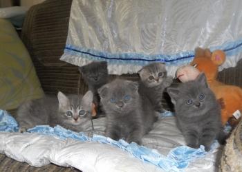 Вислоухие котятки