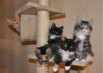 Замечательные котятки курильчатки