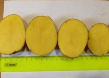 КФХ Продаст картофель оптом Гала от 1 тонны