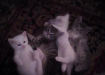 Продам котят папа альботрос, мама незнаю,но красивые.