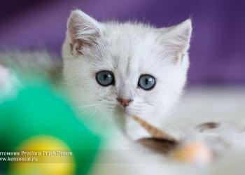 Серебристые и золотые британские котята из питомника