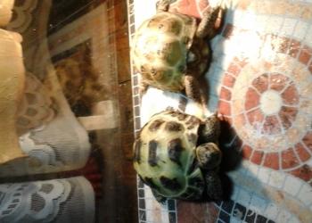 отдам среднеазиатских черепах в ответственные, добрые  руки