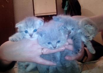Продам Британских и Шотландских котят=)