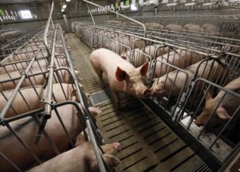 Свиньи ОПТОМ
