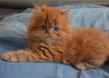 Персидские котята. Очаровашки.