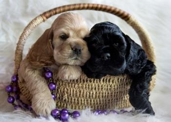 Шикарные щенки американского кокер-спаниеля