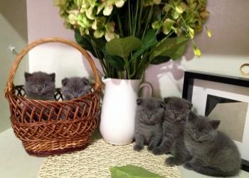 Шотландские котята (скотишфолд и скотишстрайт)