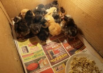 продаем цыплят мясо-яичной породы